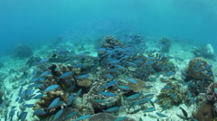 Fusiliers Swimming Over Coral Reef Stock Footage