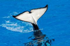 Orca killer whale while swimming to you Stock Photos