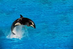 Orca killer whale while jumping outside the water Stock Photos