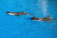Orca killer whale while swimming too you Stock Photos