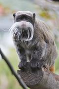 Emperor Tamarin monkey - stock photo