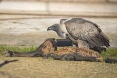 Portrait of vulture buzzard while eating a dead animal Kuvituskuvat