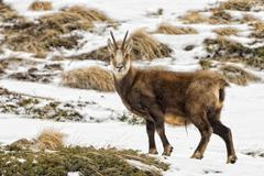 Chamois deer portrait in the snow background Stock Photos