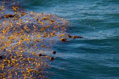 kelp algae on ocean surface - stock photo