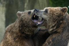 Two Black grizzly bears while fighting Stock Photos