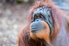 orang utan monkey portrait while looking at yuo - stock photo