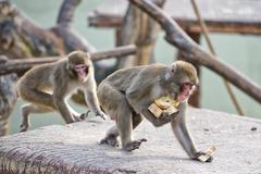 Japanese macaque monkey puppy portrait while eating bread Kuvituskuvat