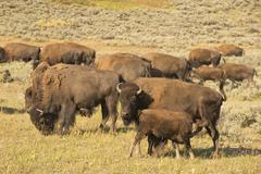 Buffalo Bison in Lamar Valley Yellowstone Kuvituskuvat