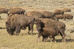 Buffalo Bison in Yellowstone Kuvituskuvat