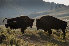 Bison Buffalo family sunset silhouette in Lamar Valley Yellowstone Wyoming Kuvituskuvat