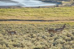 Pronghorn in Lamar Valley - stock photo
