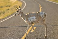 Isolated  young  pronghorn deer crossing the road in lamar valley Yellowstone - stock photo