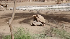 Two tortoises making love Stock Footage