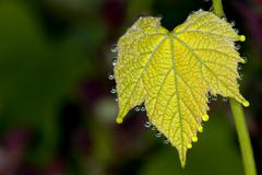 Grapes leaf with water bubbles - stock photo