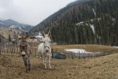 white donkey portrait close up on mountain background - stock photo