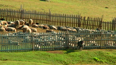 Dog keeps a flock of sheep in the fence on the mountain village - stock footage