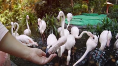 Tourist Feeding Flamingos in a Pond at a Public Zoo, with Sound Stock Footage