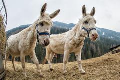 Mule donkey portrait close up on mountain background Stock Photos