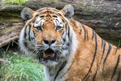 Siberian tiger ready to attack looking at you in the forest background - stock photo