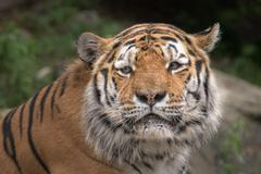 Siberian tiger ready to attack looking at you in the forest background Stock Photos