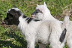 Just born white goatling nannie - stock photo