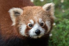 Red panda while looking at you Stock Photos