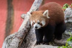 red panda while looking at you - stock photo