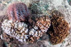 Sea star crown of thorns while eating hard coral - stock photo
