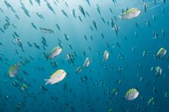 Inside a Sergeant fish bait ball underwater on the deep blue ocean background Stock Photos