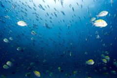 Sergeant fish bait ball underwater Stock Photos