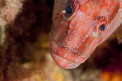 Red reef grouper fish - stock photo