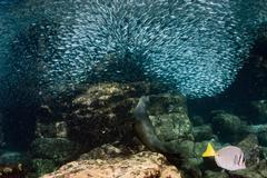 Inside a giant sardines school of fish bait ball Stock Photos