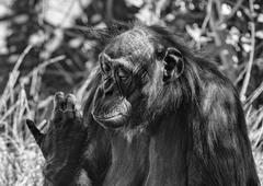 portrait of bonobo ape close up looking at you in black and white - stock photo