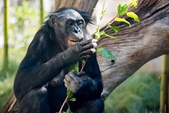 portrait of bonobo female ape close up looking at you - stock photo