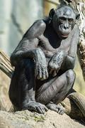 portrait of bonobo ape close up looking at you - stock photo