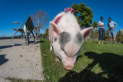 SAN DIEGO, USA - NOVEMBER 14,  2015 - People Walking a Pink baby pig  like a  - stock photo