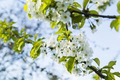 Gentle white plum blossoms blooming - stock photo