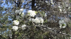 Dogwood Blossoms in Spring Stock Footage