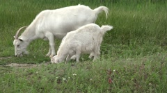 Two White Young goat grazing on green meadow at edge of hillside, 4k - stock footage