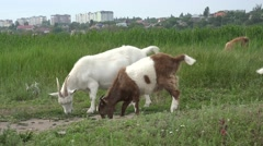 White Young goat grazing on green meadow at edge of hillside, 4k Stock Footage