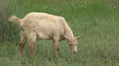 Young Goat beige, grazing on green meadow at edge of hillside, 4k Stock Footage