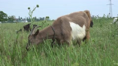 Goats grazing on green meadow at edge of farms, 4k Stock Footage
