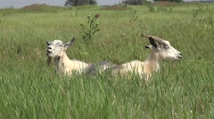 Two White young goat grazing ongreen meadow at edge of hillside, 4k Stock Footage