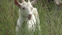White young goat grazing ongreen meadow at edge of hillside, 4k Stock Footage
