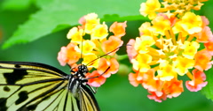 4K Flower Nectar Siphoned from Flower by Swallowtail Butterfly - stock footage