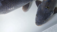 Carps underwater fast motion Stock Footage