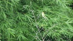 Chestnut-headed Bee-eater resting on the tree shoot - stock footage