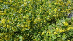 Golden currant bush with yellow flowers Stock Footage