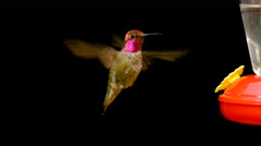 Hummingbird drinking from feeder close-up on isolated black background 4K UHD Stock Footage