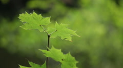 Green Maple leaf in the nature Stock Footage